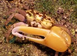 Pleins De Crabe Violonistes Très Nouméa L Odyssée Néo Zélandaise