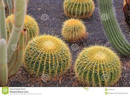 golden barrel cactus plants in desert landscaping stock photo