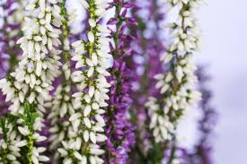 Flowers Colors Meanings - heather flower meaning flower meaning