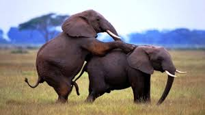 elephants mating u0026 breeding rare sighting youtube