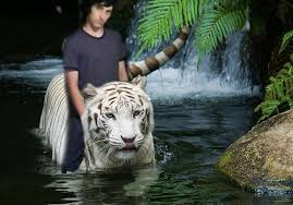 tiger in the jungle by tminimoney on newgrounds