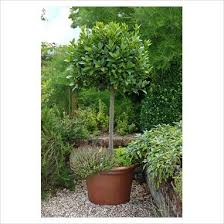 26 best bay trees images on bay trees laurus nobilis