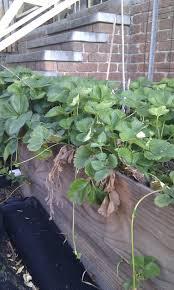 Strawberry Garden Beds Wicking Garden Bed Progress Home Grown Wayhome Grown Way