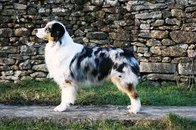 penn y caerau australian shepherds australian shepherd silver dream aussie u0027s daddy cool id 8486