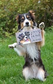australian shepherd puppies rescue choosing an aussie asca