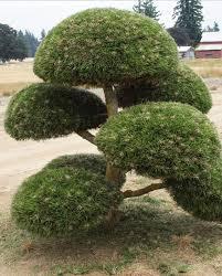 topiary trees topiary trees pine austrian topiary creekside tree nursery deaft