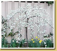 Small Trees For Backyard by Weeping Peach Awesome Dwarf Tree Plants U0026 Unusual Plants