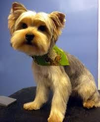 yorkie hairstyles yorkie haircut exles 189 best йорк images on pinterest yorkie yorkshire terriers and