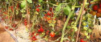 Hanging Vegetable Gardens by For Tu B U0027shevat Learn To Plant Vegetable Gardens On The Salad