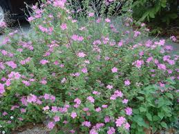 native plants in texas texas rock rose plants encyclopedia