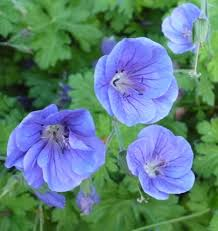Geranium by Geraniums Plant Care And Collection Of Varieties Garden Org