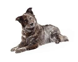 belgian shepherd labrador retriever mix australian shepherd lab mix dog aka aussiedor ultimate home life