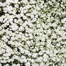 baby s breath wholesale gypsophilia baby s breath 10 bunches white bj s wholesale club