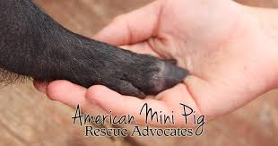 Red Barn Vet Decatur In Ampa Vet Map U2013 American Mini Pig Rescue Advocates