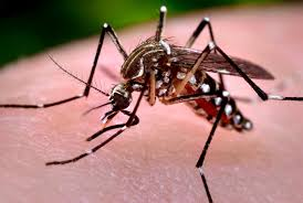 invasive aedes mosquitoes greater los angeles county vector