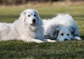 great pyrenees rescue provides wonderful dogs to good homes michigan great pyrenees rescue home facebook