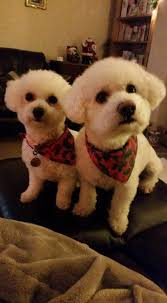 bichon frise 4 months old 50 shades of bichon part two the inspiration edit