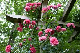 how to train a climbing rose to a trellis