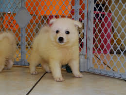 american eskimo dog jack russell mix american eskimo puppies dogs for sale in jackson mississippi