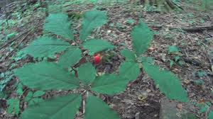 plants native to illinois how to find wild ginseng plants and how to idendify them youtube