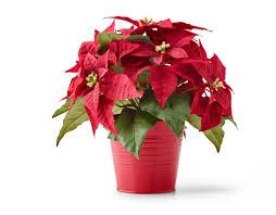 christmas plants christmas plants trees poinsettias ikea ireland