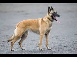 belgian shepherd or malinois harrisburg dog tyka a belgian malinois is headed to the 2017