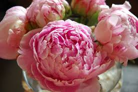 where to buy peonies thoughts of phoenies