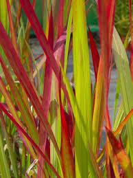 cylindrica rubra baron japanese blood grass