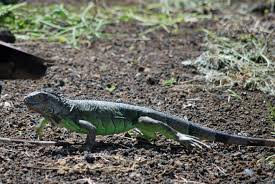 lizards for lunch sustainable farming in nicaragua
