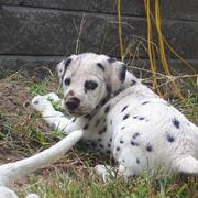 dalmation puppy pictures 75