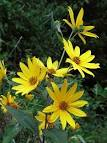 Image result for Helianthus tuberosus