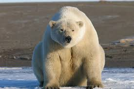 another u0027polar bears are in trouble u0027 story u2026 yawwwn watts up with