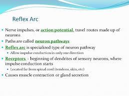 Describe A Reflex Action November 2015 Objectives To Describe The Pathway Nervous Impulses