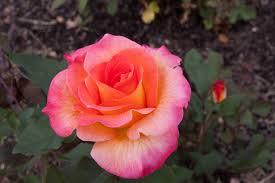 mardi gras roses maplewood garden pictures maplewood garden floribunda