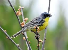 yellow rumped warbler bird watcher u0027s digest