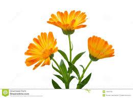 calendula flowers three calendula flowers stock image image of yellow 11830709