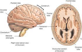 brain anatomy coloring book parietal lobe anatomy choice image learn human anatomy image