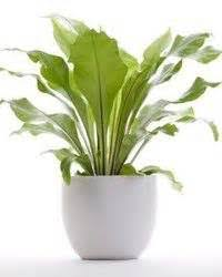 houseplants for cats ok tridanim