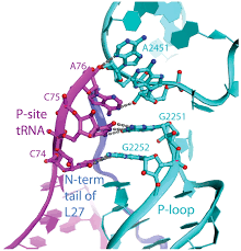 structure of the 70s ribosome complexed with mrna and trna science
