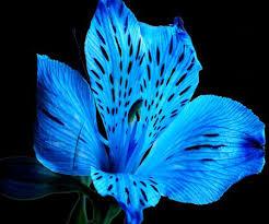 blue lilies http static desktopnexus thumbnails 517047 bigthumbnail jpg