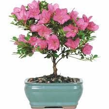 Patio Tree Rose by Live Plants U0026 Goods Walmart Com