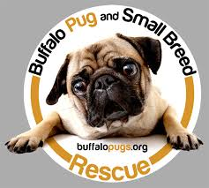 6 month old bichon frise for sale buffalo pug u0026 small breed rescue inc adopted