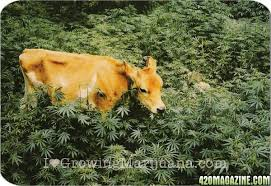how to protect your outdoor marijuana plants from mammals and