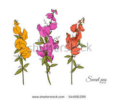 sweet peas flowers vector sweet peas flower illustration free vector