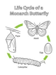 cycle of a monarch butterfly coloring page free printable