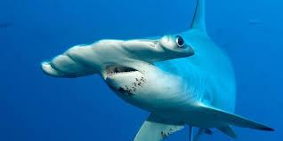 shark material for vocalic r u2014 speech tutor