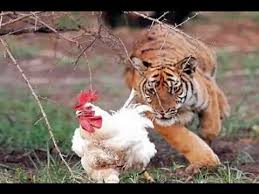 Eat All The Things Meme - best of eat all the things meme tiger eats chicken very gruesome