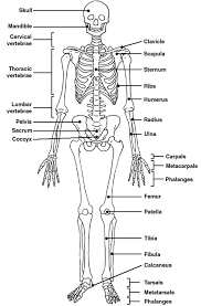 The Human Body Picture Skeleton Label