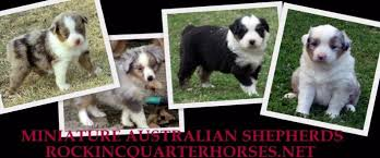 south texas australian shepherd rescue texas mini aussie breeder texas miniature australian shepherd