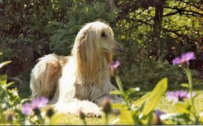 afghan hound owner reviews afghan hound breed info and care
